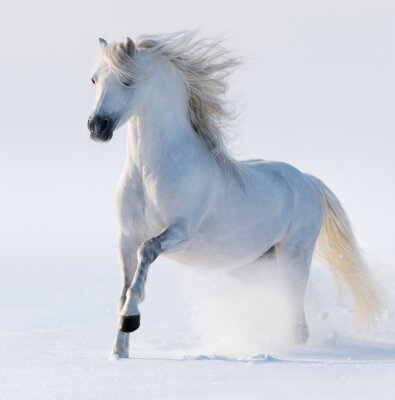 Obraz Galopujący koń śnieżnobiałym