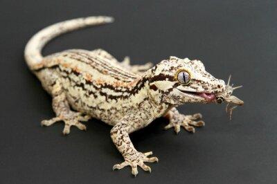 Obraz Gargoyle Gecko eating