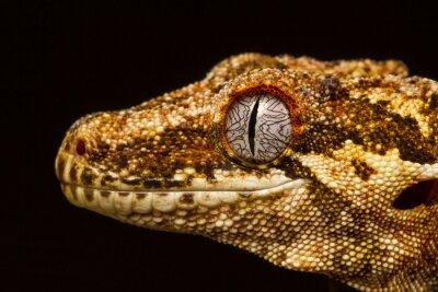 Obraz Gargulec Gecko (Rhacodactylus auriculatus) w profilu