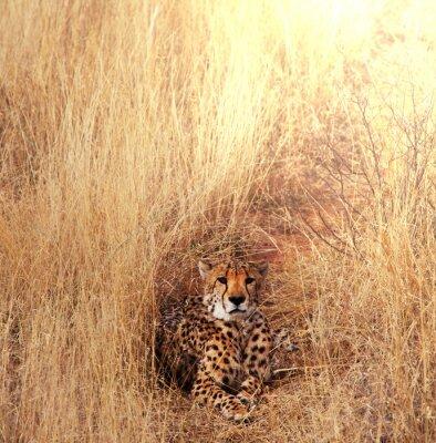Obraz gepard