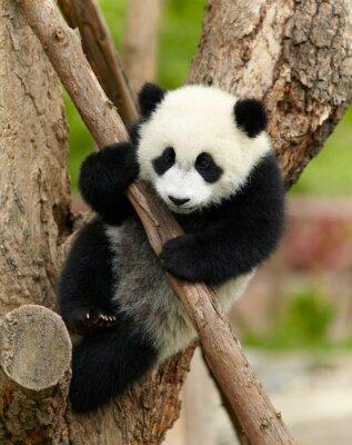 Obraz Giant dziecko panda na drzewie