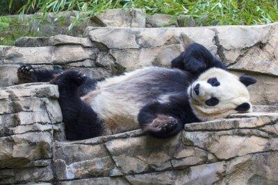 Obraz Giant Panda Bear drzemiący w National Zoo w Waszyngtonie.