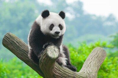 Obraz Giant panda bear wspinaczki w drzewo