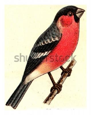 Obraz Gil zwyczajny, vintage grawerowane ilustracja. Z Atlasu Deutch Birds of Europe.