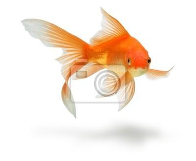 gold fish samodzielnie na białym tle