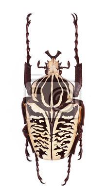 Obraz Goliathus albosignatus chrząszcz na białym