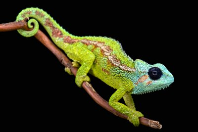 Obraz Góra Hanang Chameleon (Trioceros hanangensis)