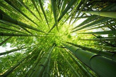Obraz Green bamboo nature backgrounds