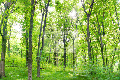 Green forest landscape with trees and sun light going through leaves