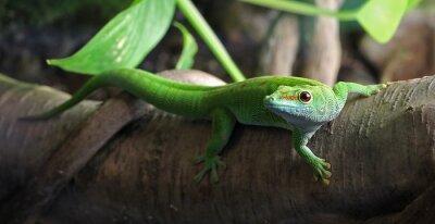Obraz Green Gecko, siedzący na gałęzi