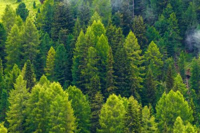 Obraz Green pine forest. Background. Dense forest of wild pine trees form a beautiful green natural backdrop