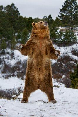Obraz Grizzly Bear