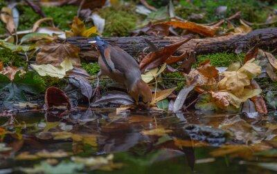 Obraz Grubodziób ptasi jesień las
