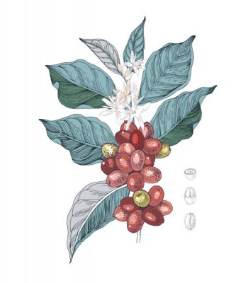Obraz Hand drawn illustration of Coffee branch with seeds, fruits and flowers. Sketched coffee plant