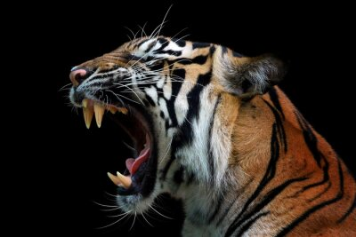 Obraz Head of sumateran tiger