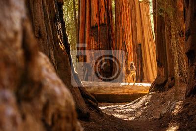 Obraz Hiker in Sequoia national park in California, USA