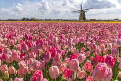 Obraz Holenderskie tulipany gospodarstwa ikony żarówki w czasie Wiosny w Amsterdamie