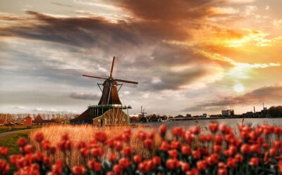 Obraz Holenderskie wiatraki z czerwonych tulipanów zamknąć Amsterdam, Holandia