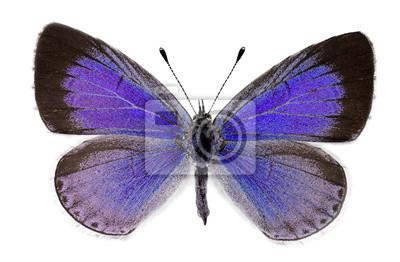 Obraz Holly blue (Celastrina argiolus), kobieta