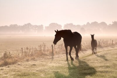 Obraz horse and foal silhouettes in fog
