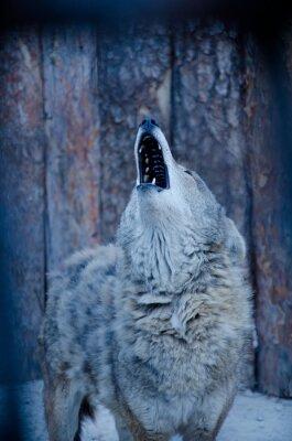 Obraz Howling Wolf (w niebieskich kolorach, stylu retro, płytkie DOF)