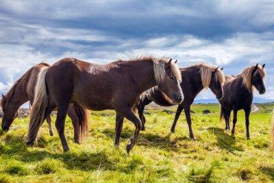 Icelandic horses on a free pasture