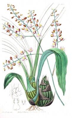 Obraz Ilustracja roślin