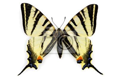 Obraz (Iphiclides podalirius)