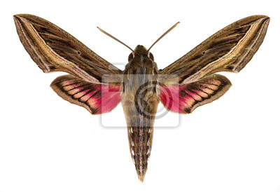 Obraz ippotion celerio (Vine Hawk-Moth lub srebrne paski Hawk-Moth)
