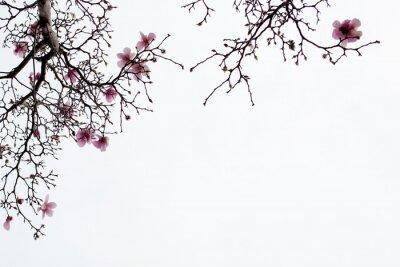 Obraz Japoński Magnolia kwiaty na białym tle