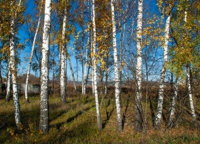 Obraz jesienią krajobraz z brzozy