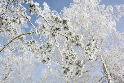Obraz Jodła gałęzi drzewa w lesie zimą