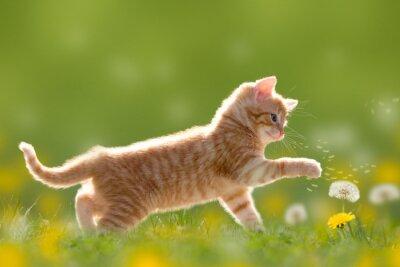 Obraz Junge mit Pusteblume Katze spielt / Löwenzahn