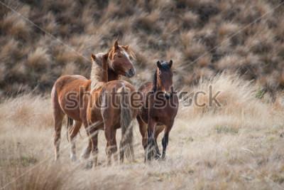 Obraz Kaimanawa dzikie konie z uszami