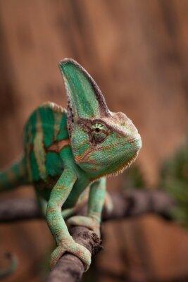 Obraz Kameleon