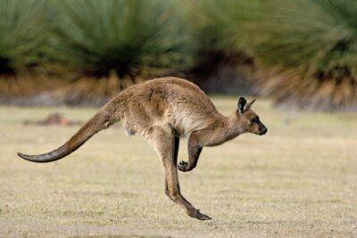 Obraz Kangaroo rozrzucanie