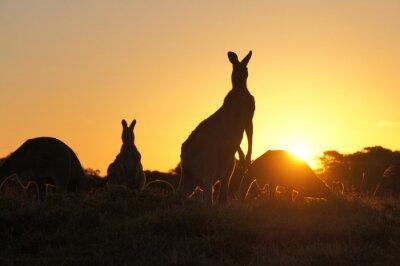 Obraz Kangaroo sylwetką o zachodzie słońca