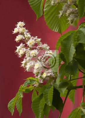 Kasztanowiec kwitnie