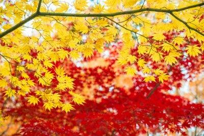 Klon czerwony i żółty w sezonie jesiennym z błękitne niebo rozmazane tło, pobrane z Japonii ..