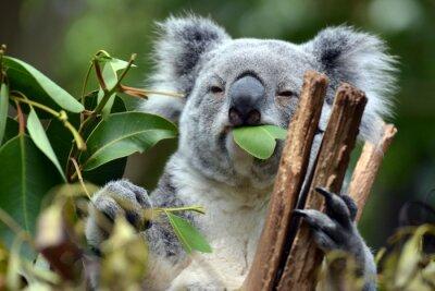 Obraz Koala w Lone Pine Koala Sanctuary w Brisbane, Australia