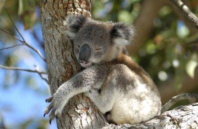 Obraz Koala w Port Stephens obszarze, NSW, Australia.