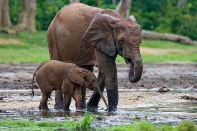 Obraz Kobieta słonia z dzieckiem. Republika Środkowoafrykańska. Republika Konga. Dzanga-Sangha specjalnej rezerwy. Doskonałą ilustracją.