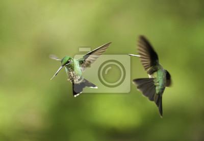 Kolibry Fighting