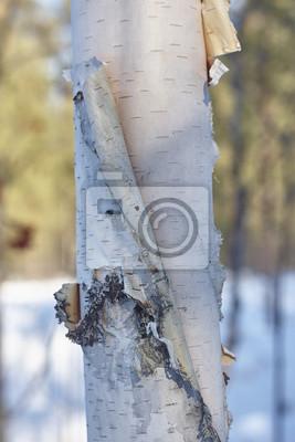 Obraz kory brzozy bliska