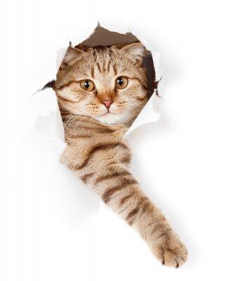 Obraz kot w białym otwór tapety