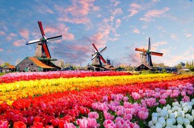 Obraz Krajobraz z tulipanami, tradycyjnymi holenderskimi wiatraczkami i domami blisko kanału w Zaanse Schans, holandie, Europa
