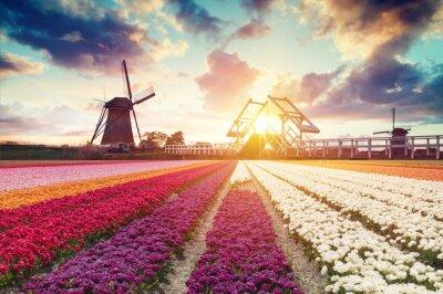 Obraz Krajobraz z tulipanów, tradycyjnych wiatraków holenderskich i domy w pobliżu kanału w Zaanse Schans, Holandia, Europa