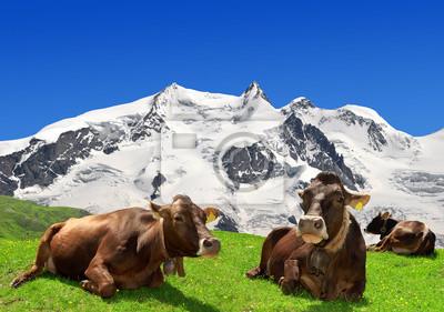 Krowa leży na łące - Alpy Szwajcarskie