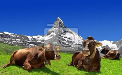 Krowy leżąc na łące - Alpy Szwajcarskie