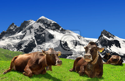 Krowy leżąc na łące w Alpach szwajcarskich